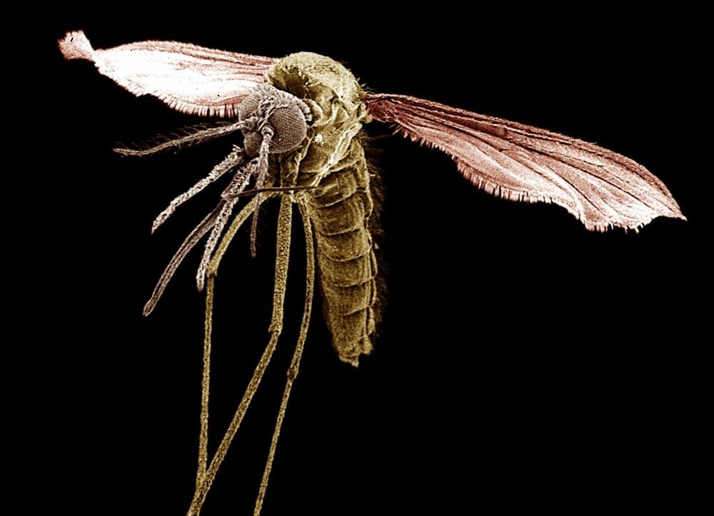 Es gibt rund 400 bekannte Arten von Anophelesmücken auf der Erde. Etwa 40 davon sind als Überträger von Malaria nachgewiesen. Sie alle gehören zur Familie der Stechmücken. Weltweit kommen sie in tropischen und subtropischen Regionen vor, aber auch in Gegenden mit gemäßigten Temperaturen. Foto: Prof. Dr. Heinz Mehlhorn