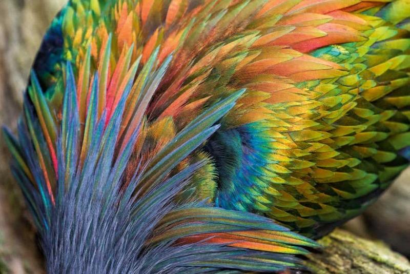 Das bunte Federkleid der Nikobarentauben schillert je nach Lichteinfall in unterschiedlichen Farbnuancen. Vermutet wird, dass die vielen Farben die Fressfeinde verwirren und ablenken sollen. (Foto: Konrad Wothe)