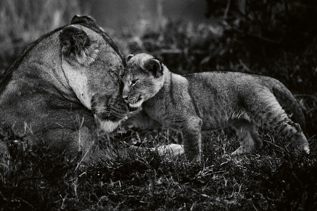 Preuve d'amour, Kenya 2014 (Bild: 2019 Laurent Baheux. Alle Rechte vorbehalten.)