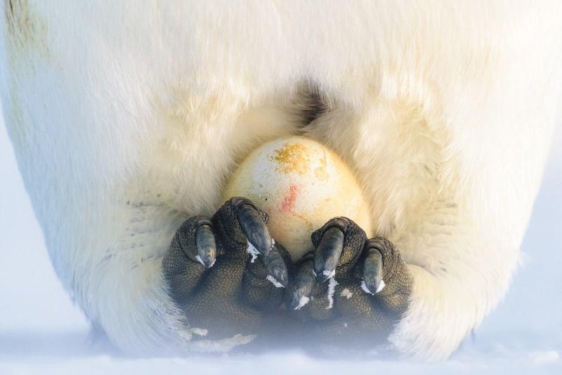 Kaiserpinguin (Aptenodytes forsteri) beim Ausbrüten eines kurz zuvor gelegten Eies auf den Füßen. (Bild: 2020 Stefan Christmann)