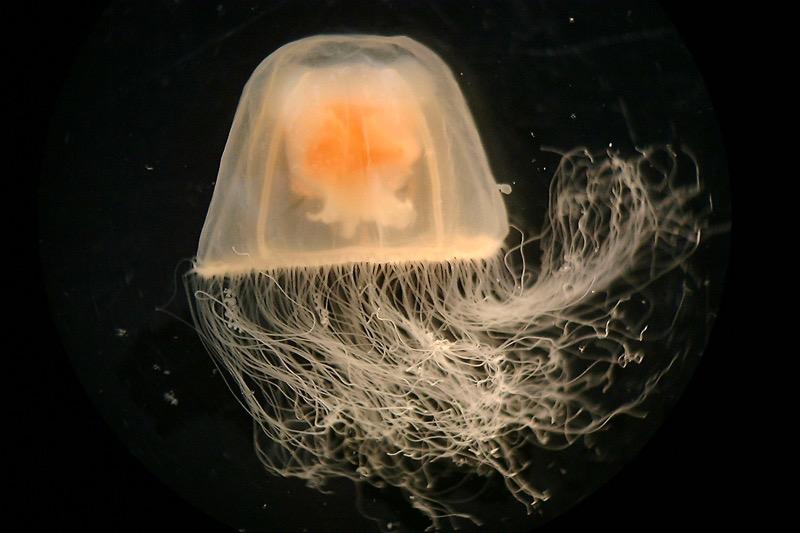 Turritopsis dohrnii wird auch die Unsterbliche genannt. Denn stirbt die Qualle, verwest sie nicht, sondern ihre Zellen wandeln sich um und bilden eine neue Polypen-Kolonie. (Foto: Lisa-ann Gershwin)