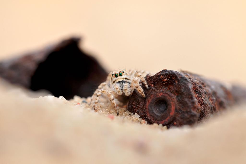 05_S.-22_Dünen-Springspinne_Explosives-Erbe_skaliert