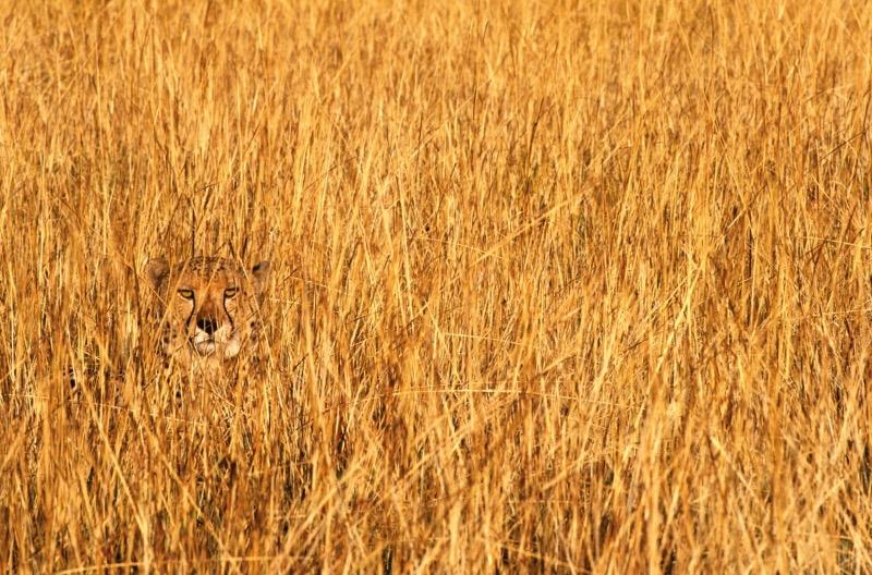Nichts als gelbe Halme des Savannengrases zu sehen - Moment! Da hat sich ein Raubtier im Gestrüpp des Phinda-Reservats in Südafrika versteckt: ein Gepard. (Foto: Art Wolfe)