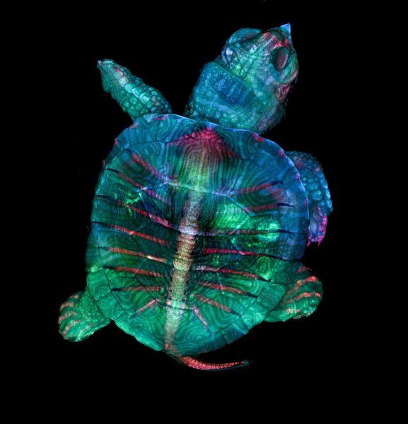 Der erste Platz des Nikon Small World Wettbewerbs geht an dieses bunte Foto eines Schildkrötenembryos. (Bild: Nikon Small World Photomicrography Competition 2019/ Teresa Zgoda, Teresa Kugler)