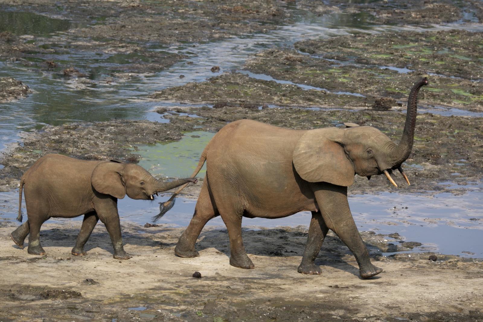 Waldelefanten sind kleiner als ihre Verwandten in der Savanne. Im Unterschied zu ihnen haben die Waldbewohner außerdem eine komplexe Herdenstruktur mit einer genau definierten Hierarchie. (Foto: Alexandre Brecher - WWF Canon)