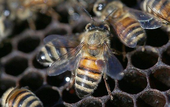 Biene Varroa