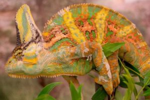 13-12-10-chameleon.jpg
