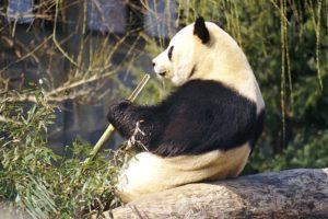 14-03-26-panda.jpg