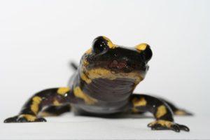 14-10-30 Salamander.jpg