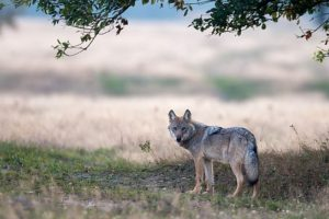140911-nabu-wolf-2.jpg