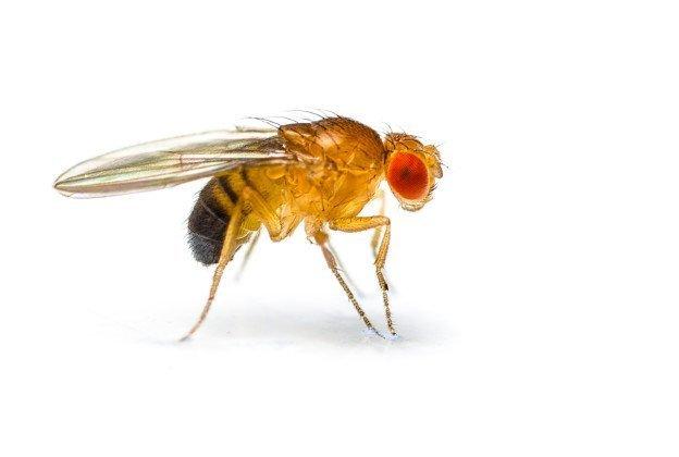 15-12-03 Drosophila.jpg