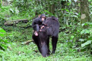 16-02-26 Schimpansen.jpg