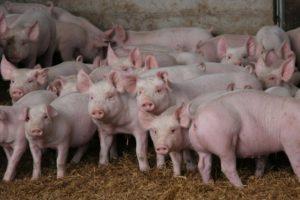 16-06-29 Schweinegrunzen.jpg