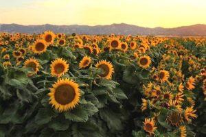 16-08-04 Sonnenblumen.jpg
