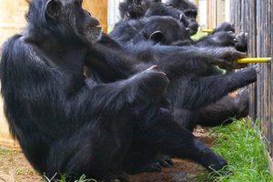16-08-22 Schimpansen.jpg