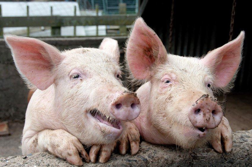 16-11-17 schweine.jpg