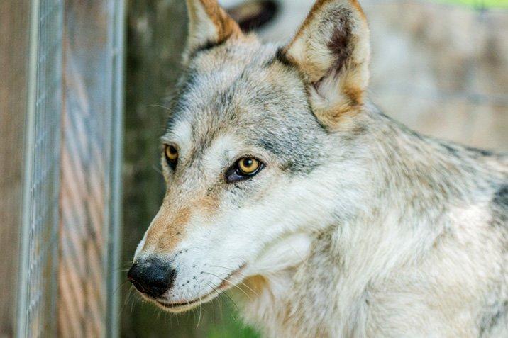 17-06-08-wolf.jpg