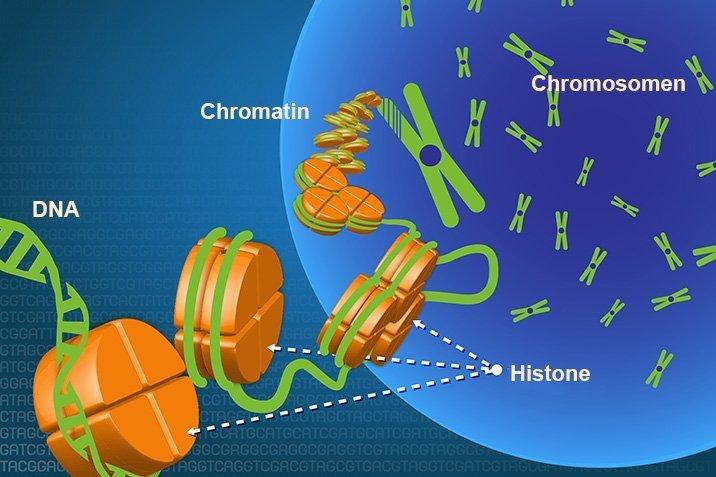 17-07-28-chromatin2.jpg