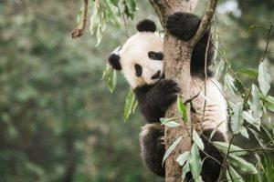 17-09-26-panda.jpg