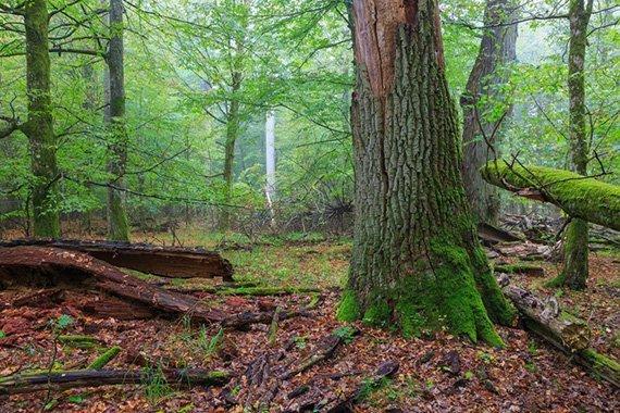 Bialowieza-Wald