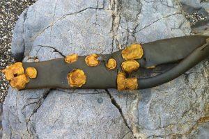 Kranker Kelp