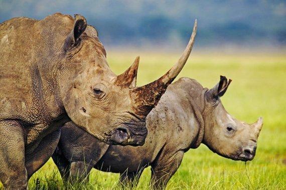 Nashorn Horn Wert