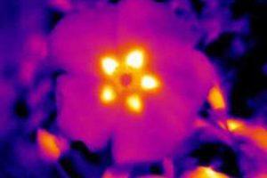 Blüte im Wärmebild