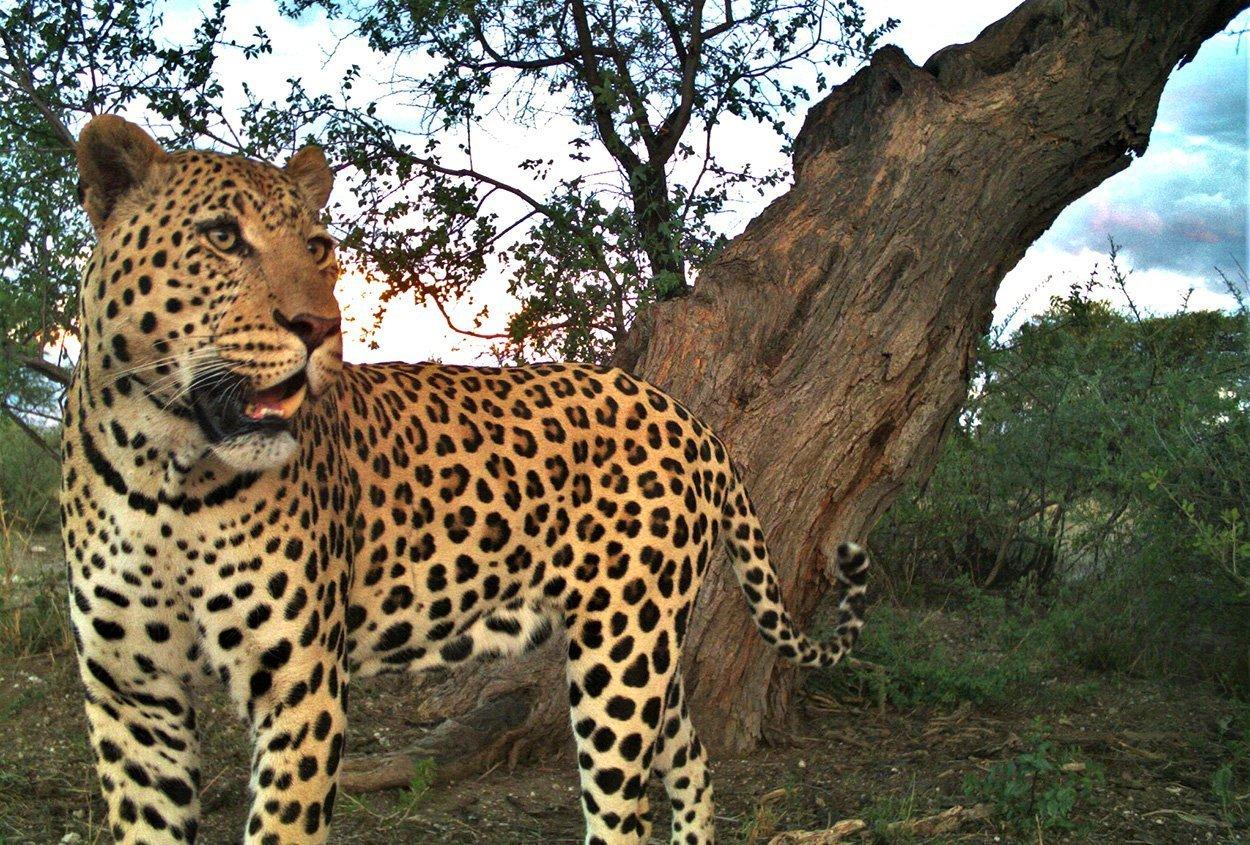 Leoparden Männchen sind wählerischer   wissenschaft.de