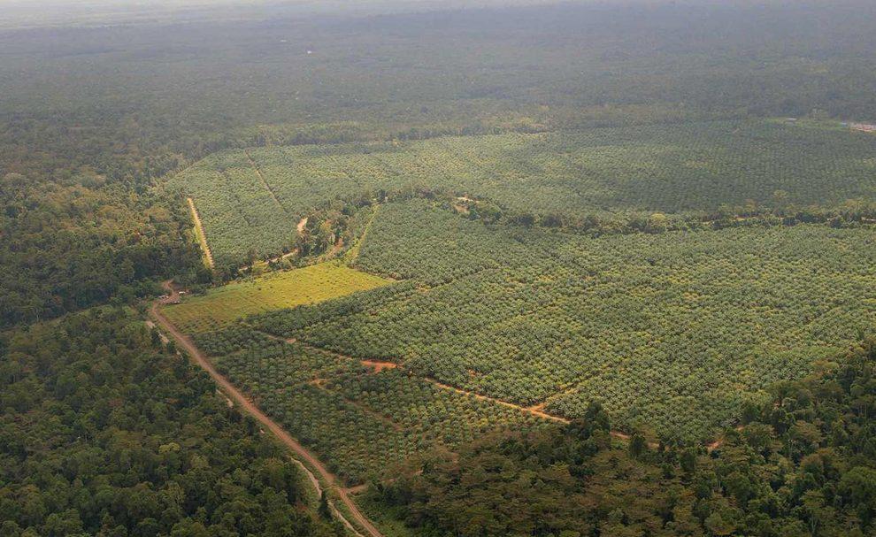 Ölpalmenplantagen