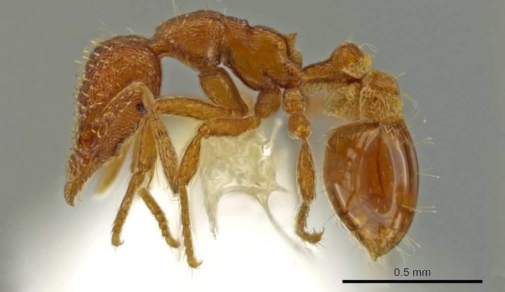 Strumigenys ananeotes