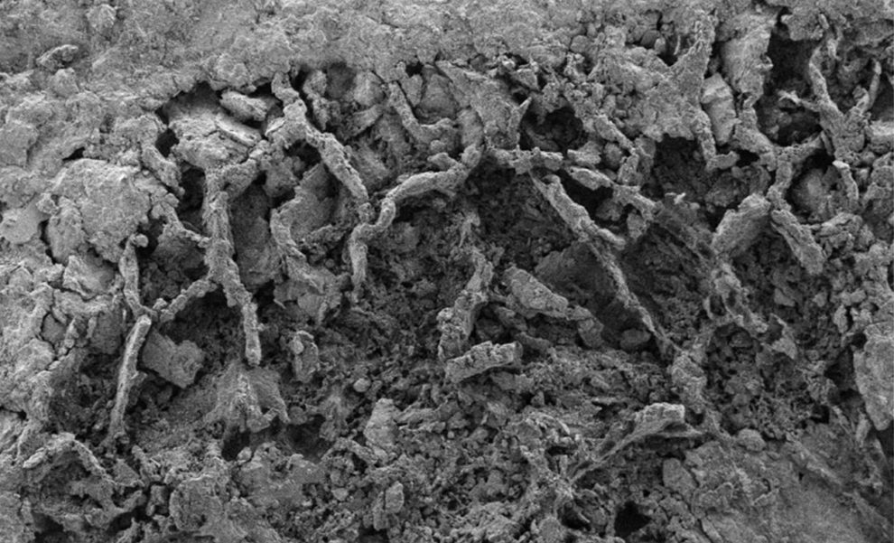 fossiles Pilzmycel