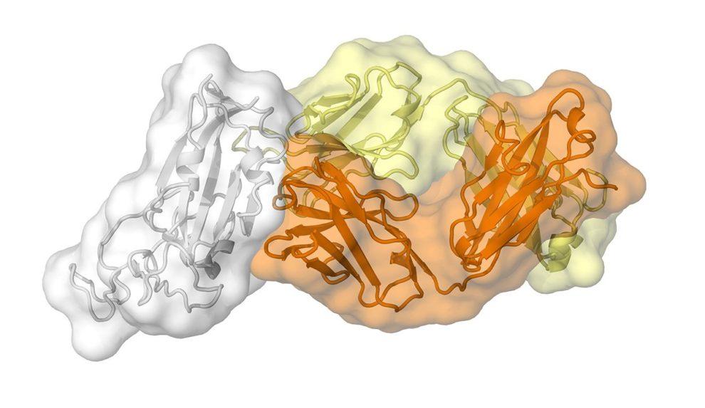Corona-Protein