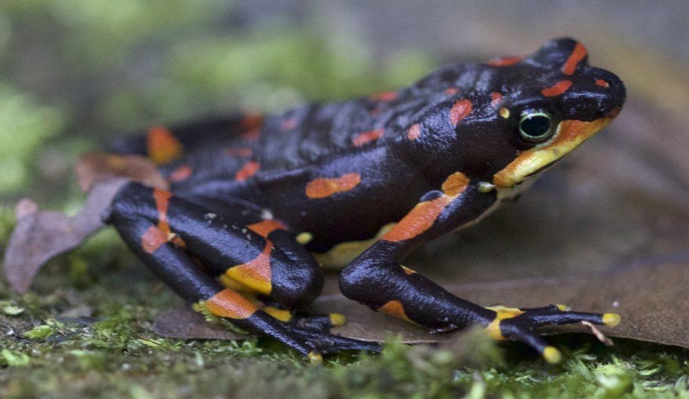 Harlekin-Frosch