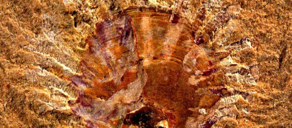 Armfüßer-Fossil