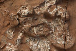 Protoceratops-Embryos