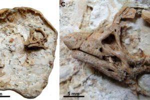 Embryo-Fossil