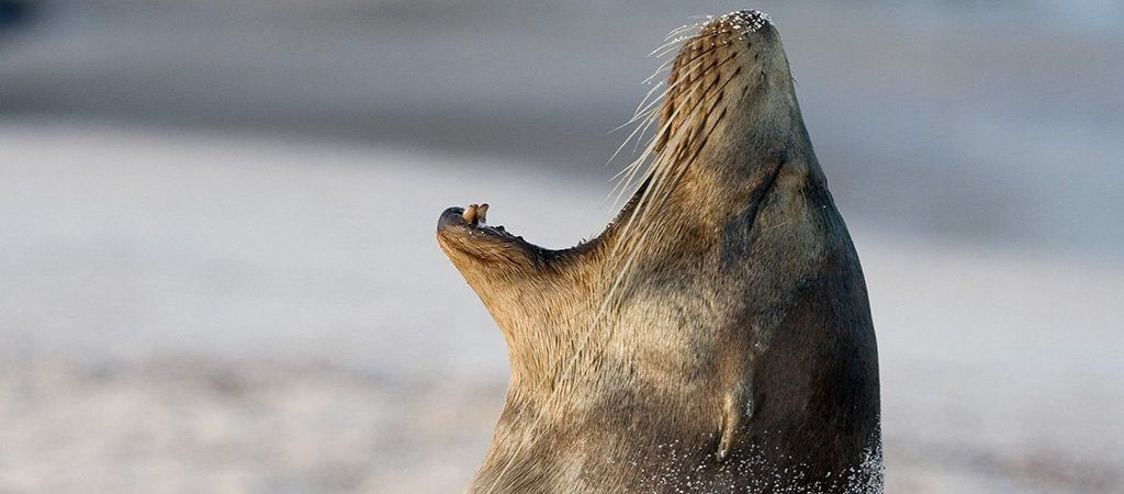 Gähnender Seelöwe