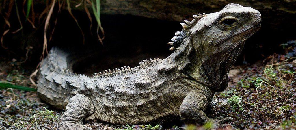 Brückenechse oder Tuatara (Sphenodon punctatus)