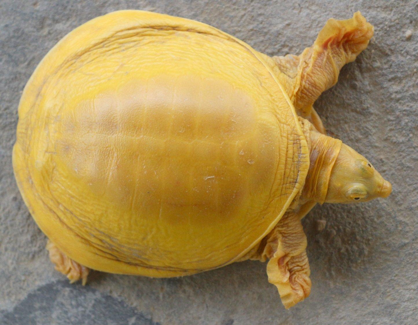 Indische Klappenweichschildkröte (Lissemys punctata)