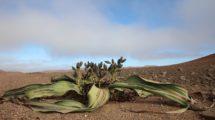 Weltwitschia