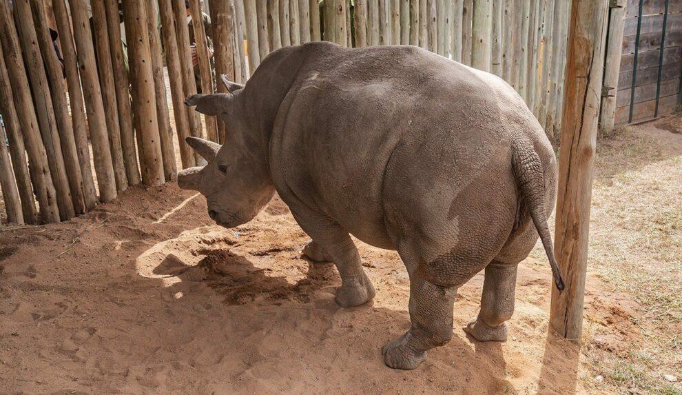 Nashorn Fatu