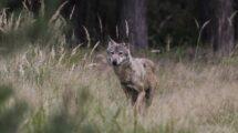 Wolf oder Hybride?