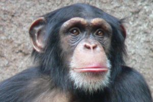 600px_chimpanzee_head.jpg