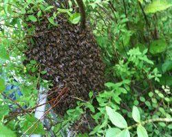 Bienenschwarm_kl.jpg