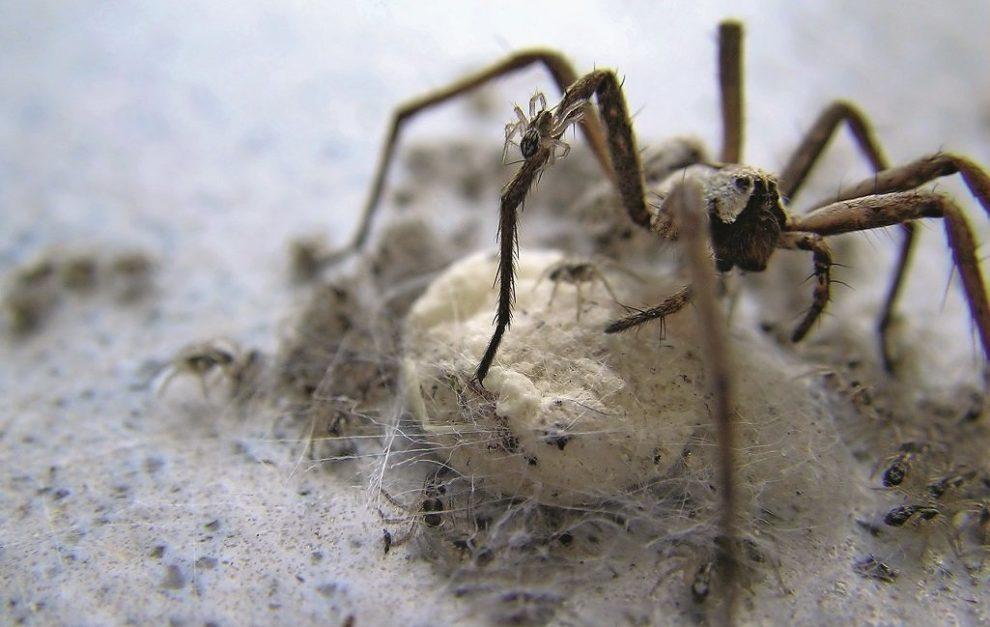 Spinne mit Brut