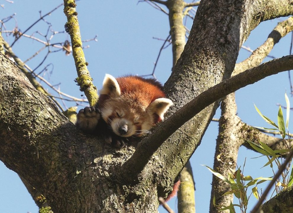 Schlafender Katzenbär