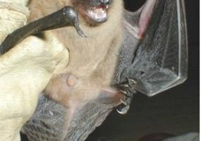 big_brown_bat.jpg