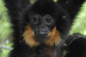 gibbon_web.jpg