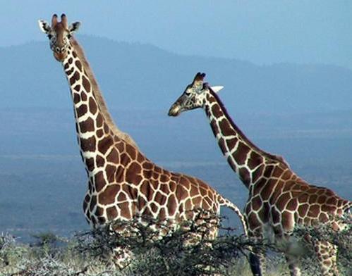 giraffe_todd_palmer.jpg