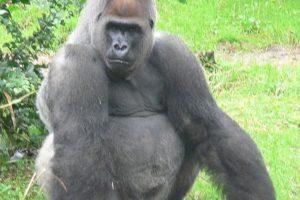 gorilla04.jpg